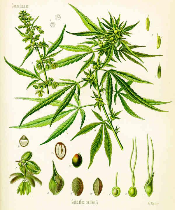 Planche botanique du Cannabis Sativa